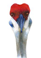 kraanvogel 1
